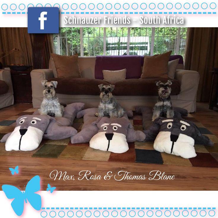 The Blane Schnauzers sporting their new Schnauzer beds!