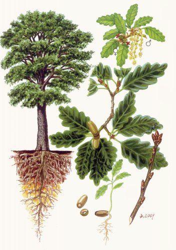 Dub zimní (Drnák) - Tipy do lesa - Vojenské lesy a statky dětem