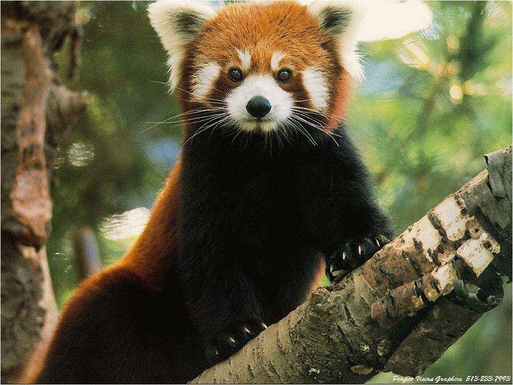 Assez 76 best Red Panda images on Pinterest | Red pandas, Giant pandas  EX76