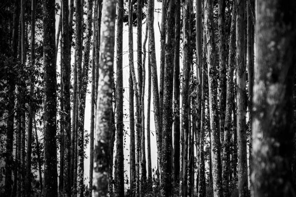 Eucalyptus Forest by Alejandro Restrepo, via Behance