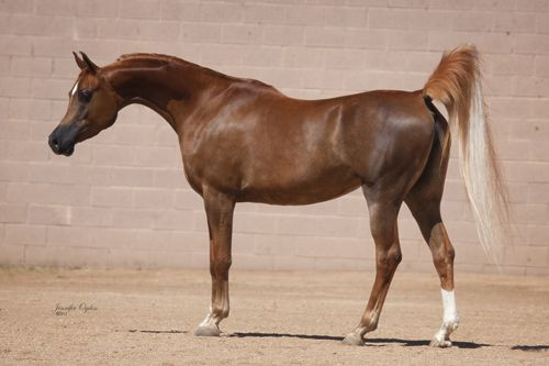Arabian Horses by River Valley Arabians - Arabian Horses for sale, Stallions, Mares, Foals, Breeder, Horse Farm