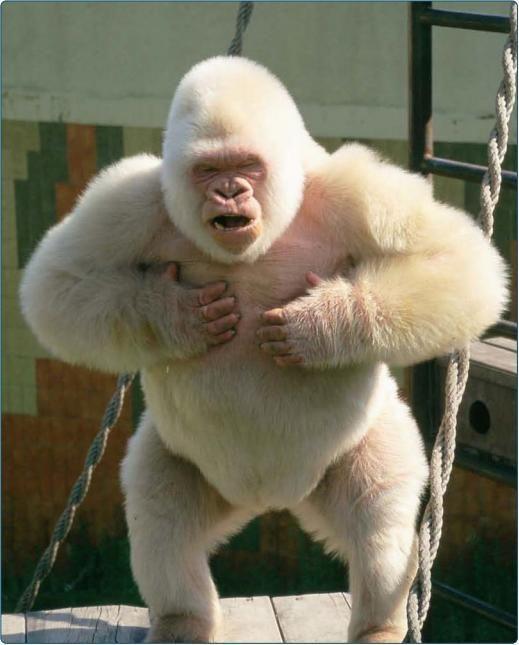 Floquet de neu, el unico gorila albino.