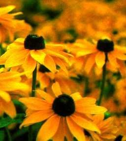Maryland's state flower, the Black-Eyed Susan