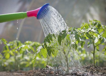 Een tomatenplant verzorgen doe je zo.