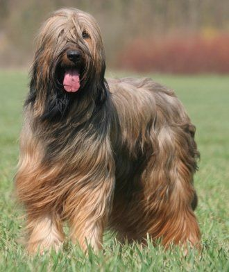 BRIARD!!! They are so smart and adorable fluffy monsters