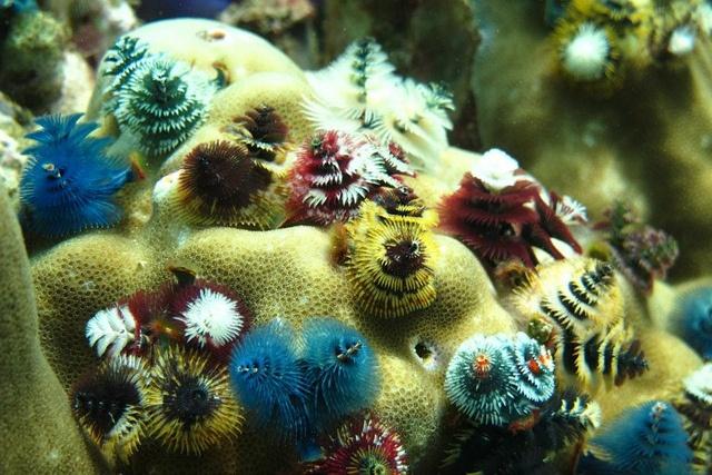 Merry Christmas from Thailand!!!   Christmas tree worms (Spirobranchus giganteus) in Tarutao National Marine Park