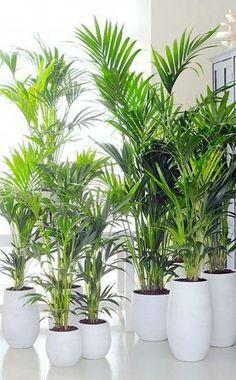 Die Kentiapalmen (Howea forsteriana) mögen keine direkte Sonne und haben einen mäßigen Wasserbedarf. Deshalb sollte man sie nicht zu stark wässern und die Erde vor dem nächsten Gießen abtrocknen lassen. Sie gelten als eine der robustesten Palmenarten