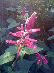 Salvia involucrata 'Bethellii'- Reaching up to six feet in height and with pink flowers from summer, right through until th...