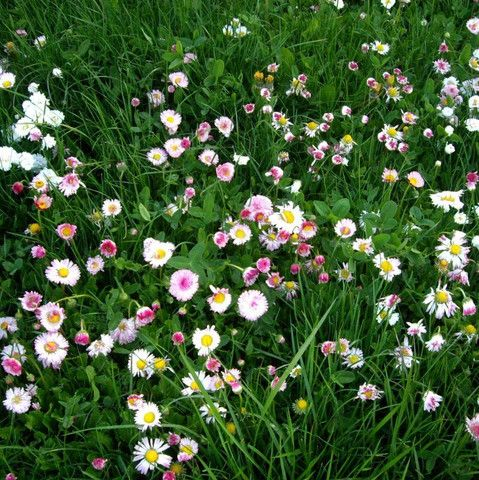 A wonderful grass and flower mix to replace our current lawn. Only needs mowing once per month (or less)!!