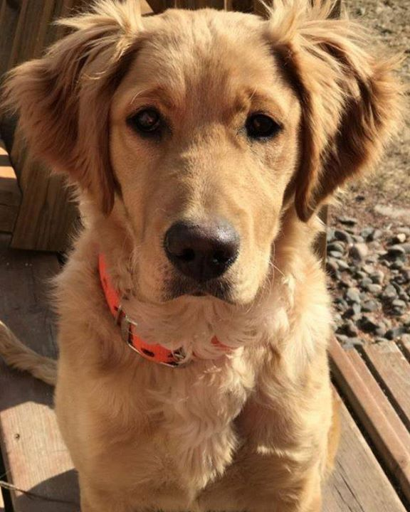 Lost Dog Pine City Golden Retriever Female Date Lost 06 21