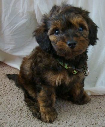 Bubba the Doxie Poo at 6 weeks old—he is 1/2 teacup Poodle