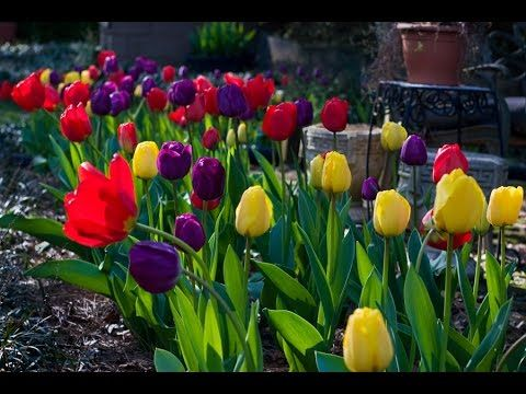 when to plant tulips - when to plant tulips in ohio - when to plant tuli...