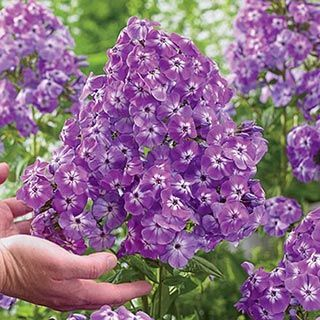 Tall Garden Flowers 12 best tall garden phlox images on pinterest | garden plants