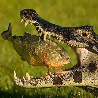 Wildlife Animals & Nature — .  crocodile  Photography by © (Mariano...