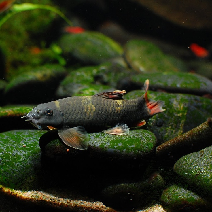 116 best images about fish ideas on pinterest opaline for Freshwater sucker fish