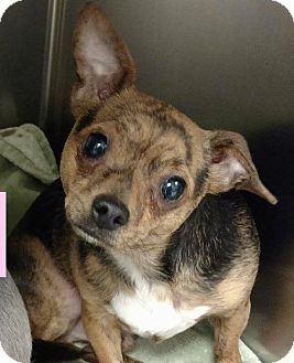 chihuahua rescue houston 1000 ideas about dogs for adoption on pinterest pit 5789