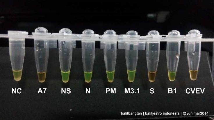 Balitjestro | Kit Deteksi Cepat Penyakit HLB pada Tanaman Jeruk Menggunakan Teknik LAMP (Loop-mediated isothermal Amplification)
