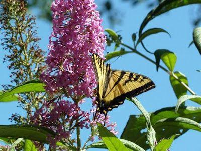 Garden Ideas - Butterfly Gardening