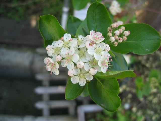 Aronia melanocarpa http://berryslife.com