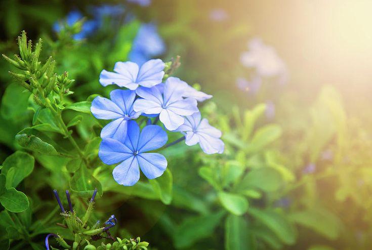 Blue Little Pretty Flowers With Sunlight Photograph by Nadezhda Tikhaia #NadezhdaTikhaiaFineArtPhotography #ArtForHome #HomeDecor #Blue #Flowers #InteriorDesign #FineArtPrints