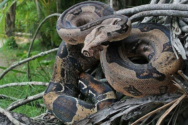Una vista de cerquita a una serpiente puede que asuste a más de uno pero realmente es mucho más tenebroso que no haya serpientes. No nos crees?  Ya verás por qué lo decimos.  Seguramente has escuchado que las serpientes comen ratones y esto es cierto pero no solo comen ratones. También se alimentan de otros animales que pueden ser perjudiciales para nosotros.  Algunas se alimentan de animales que pueden afectar los cultivos de los que viene tú comida otras se comen a animales que pueden…