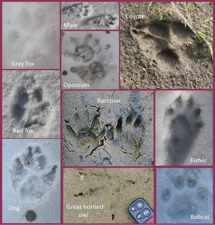 Poultry Predator Identification: A Guide to Tracks and Sign on Our One Acre Farm at http://ouroneacrefarm.com/poultry-predator-identification-a-guide-to-tracks-and-sign/