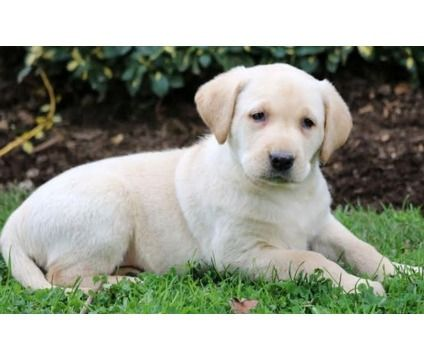 dfgsdfwerh Two Cute Labrador Retriever puppies for sale is a Labrador Retriever For Sale in Oakland CA