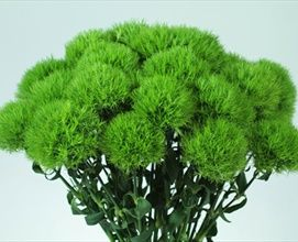Green Ball - Dianthus - Flowers and Fillers - Flowers by category | Sierra Flower Finder, edible