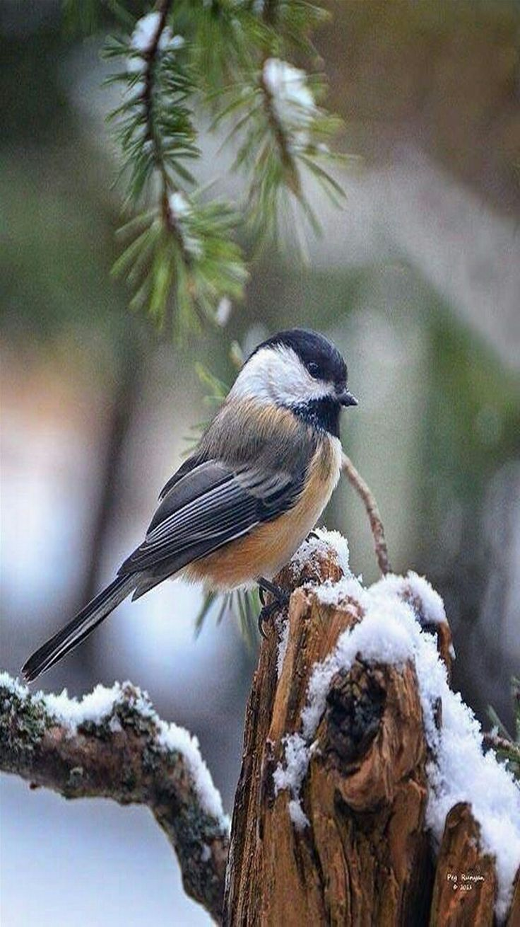 Snowbird - Blackcapped Chickadee in the first snowfall. -   By Peg Runyan