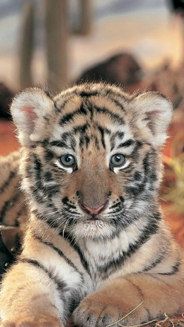 Iphone Wallpaper Animals 503 Animales Animaux Sauvages Bebe Tigre