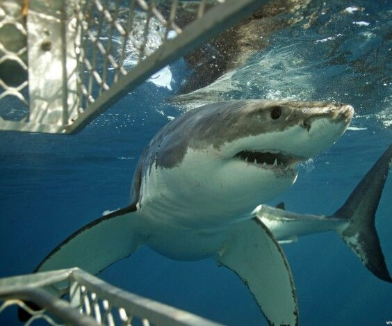 Shark Diving, Port Lincoln Australia