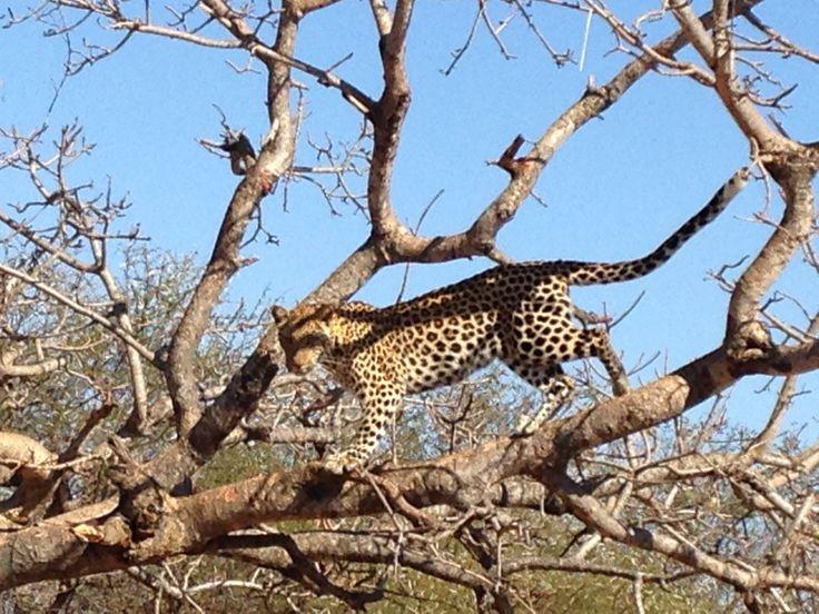Leopard in the Kruger Park