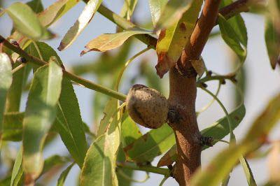 O Botânico Aprendiz na Terra dos Espantos: Árvores de fruto: A Amendoeira (Prunus dulcis)