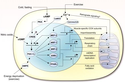 essays in biochemistry mitochondrial function Much of this evidence has been obtained by novel non-invasive measurements of mitochondrial function essays in biochemistry biochemical society symposia.