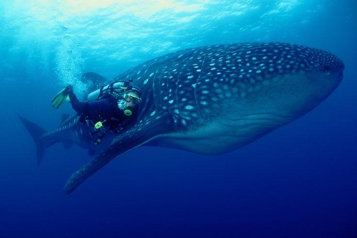 Hvalhajen er bare ét af de sjældne dyr, du kan møde, hvis du dykker ved Galapagos Øerne i Ecuador.