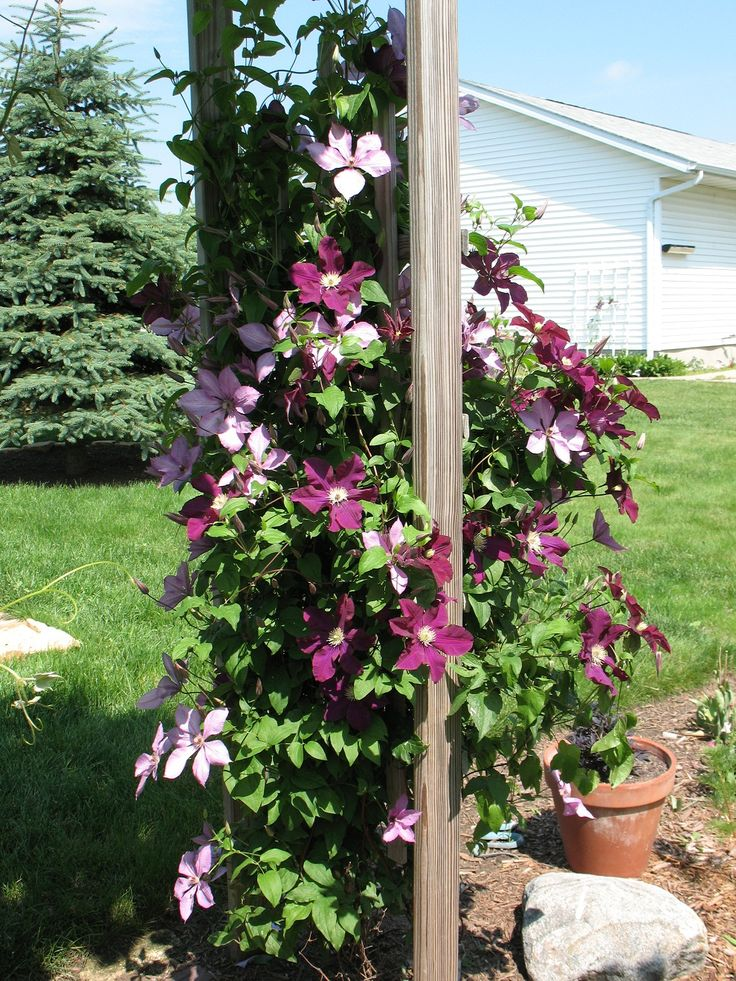 Clematis Trellis: Actually Look Pretty - http://www.apilotsjourney.com/clematis-trellis-actually-look-pretty/ : #Trellises Ever heard talk about clematis trellis at home garden? The clematis plant is a flowering vine that has over 400 different species. Because they are the plants grow upwards have a vertical support, such as to grasp hold of a wall or a wall as they grow. Clematis Garden Trellis Design Ideas can...