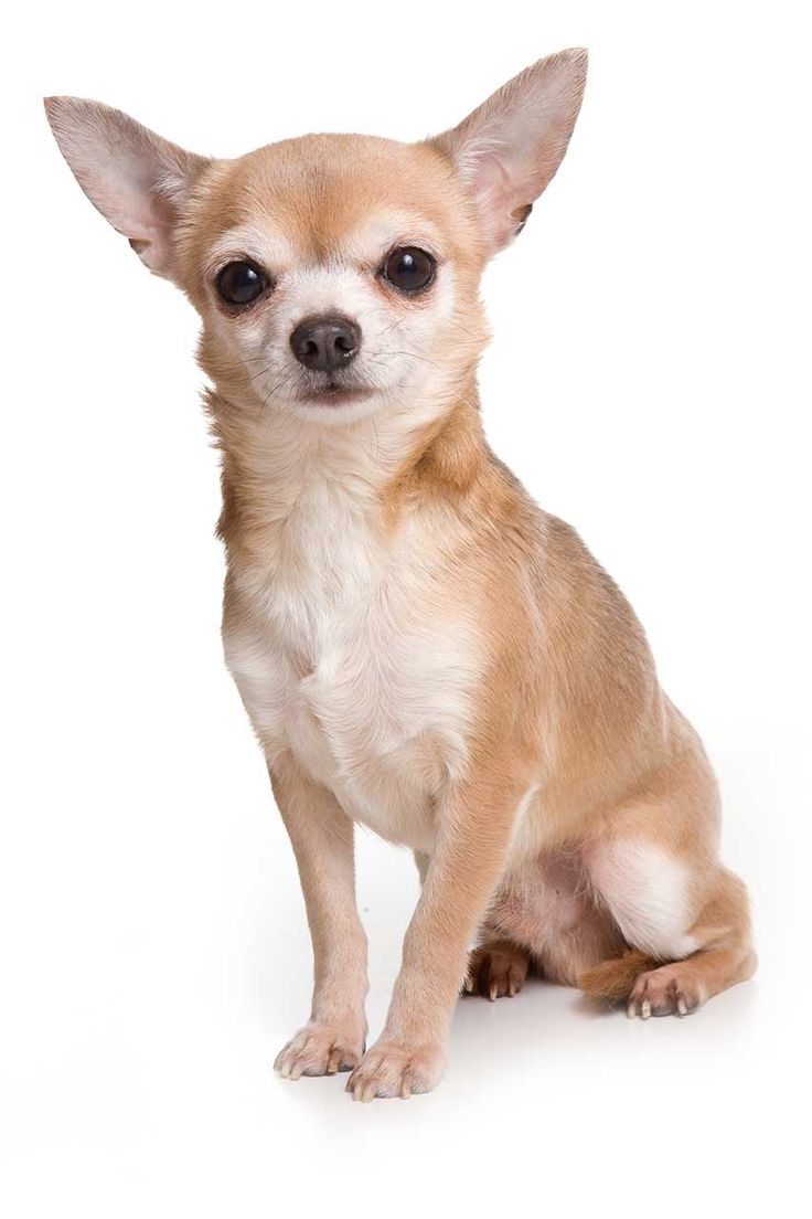 1000 images about chihuahuas on pinterest cartoon devil and blue - 6 Different Types Of Chihuahuas Dog Mixes Breeds With Pictures