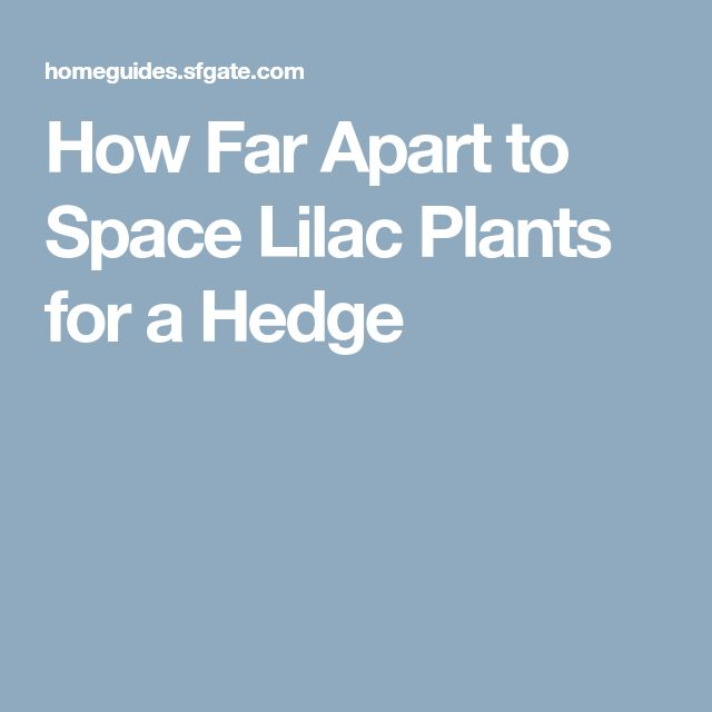 How Far Apart to Space Lilac Plants for a Hedge