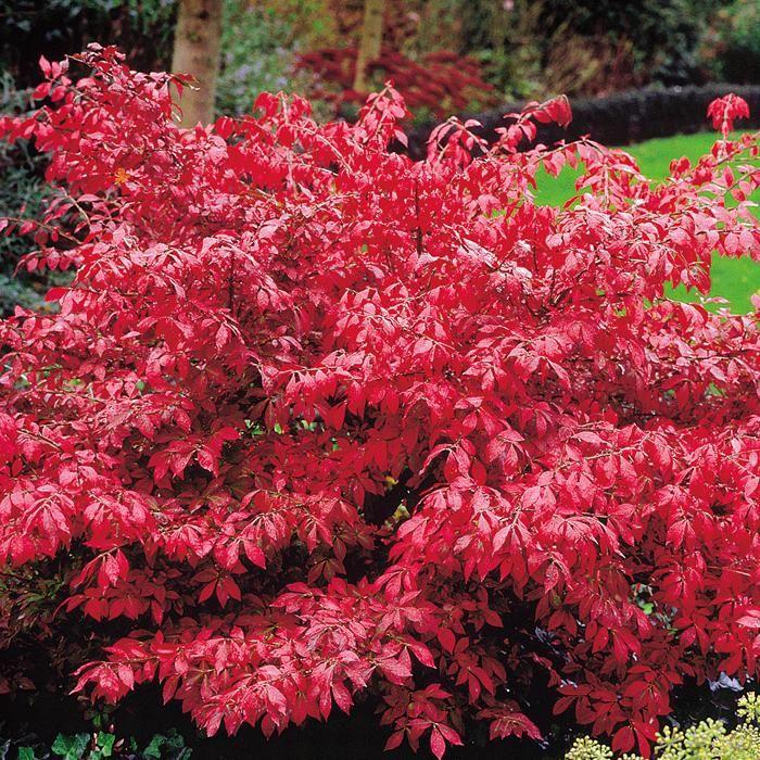 Feuerbusch Euonymus - 1 strauch günstig online kaufen, bestellen Sie schnell und bequem online