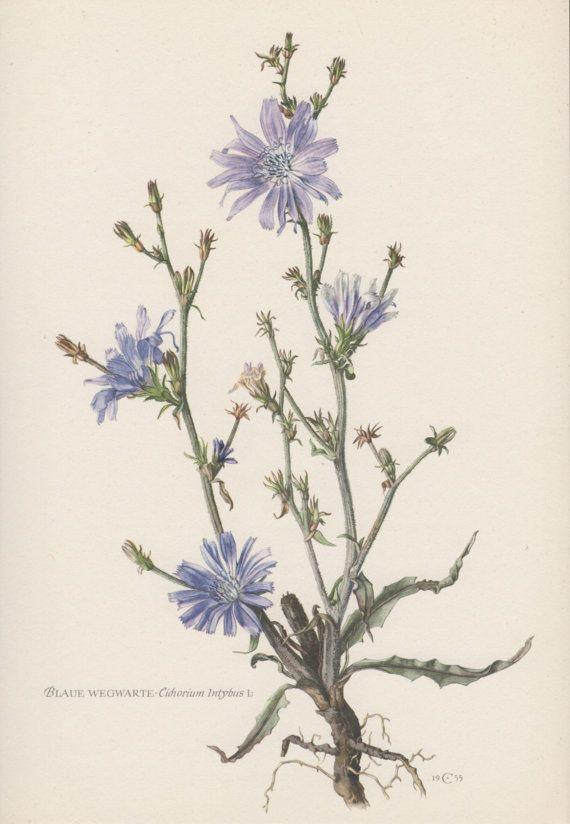 Botanical Print Chicory Cichorium intybus by AntiquePrintGarden