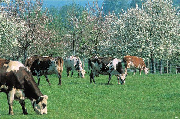 vaches normandes photos   ... Guide Pays d'Auge Colombages, vaches normandes, herbe verdoyante