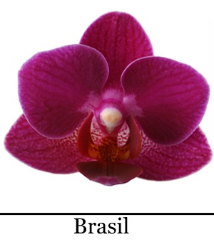 Orchidee Phalaenopsis Brasil