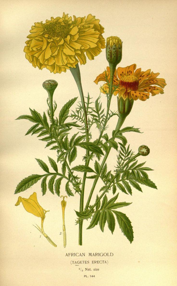Цветы бархатцы картинки для детей нарисованные