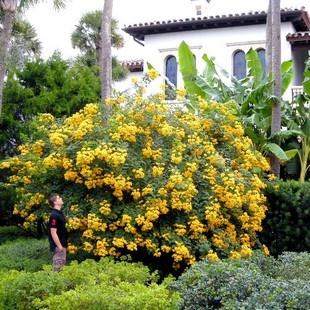cassia tree: Cassia Trees