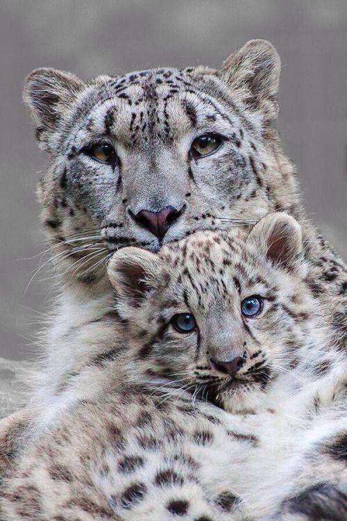 #snow #leopard