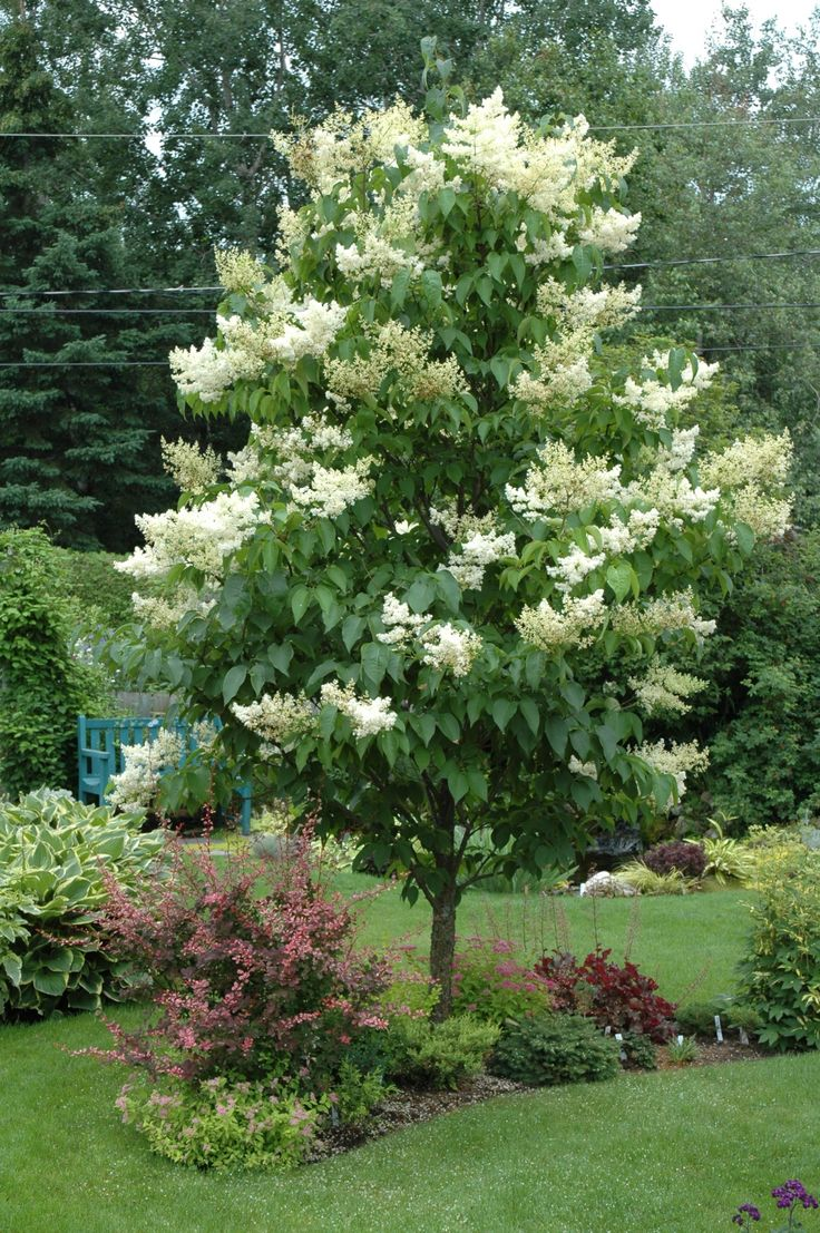 Ivory Silk Japanese Tree Lilac. I need to find a place for this.