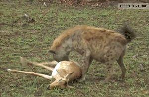 Gazelle's surprise escape