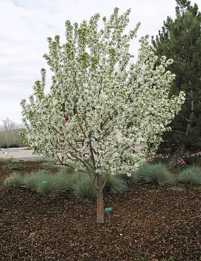 Spring Snow Crabapple - Species: Malus 'Spring Snow', Zone: 5-8, Height: 25', Spread: 20', Light: Sun, Bloom: White/Apr-May, Growth: Medium, Drought Tolerant: Medium, Notes: Abundant, fragrant white flowers bloom in late spring. Best in full sun. Good disease resistance. Rarely produces fruit. Cost: $49 - $109