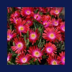 Zenfidan +-50 Adet Pembe Sarı Buz Çiçeği Tohumu Paketli