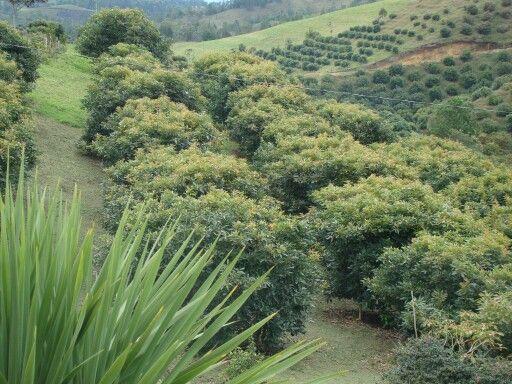 Cultivo de aguacate Hass. Bien florecido, o no?  COLOMBIA